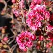 季節の花「御柳梅(ぎょうりゅうばい)」
