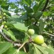 ☆天草南蛮柿:イチジク、そして散歩道より