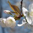 桜さくら(Ⅹ)