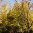 雍和宮~見逃すべからず、黄色く輝くイチョウの黄葉!~