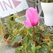 ちょっと早くないかい・・・鉢植えのシクラメンが開花!・・・しかも3年前のもの。