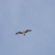 公園の上空を、ミサゴが飛んだ。