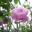 冬薔薇の耀き