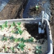 寒さに 急いでソラマメ定植