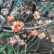 ミツマタ 三椏 赤花