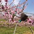 桃の花が満開です!