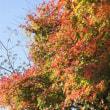 筑波山イロハモミジ紅葉始まる
