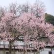 古代蓮の里の雪と桜