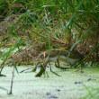 新潟の野鳥 タマシギ