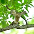 ツミの幼鳥Ⅱ
