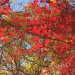 楓の画像コレクション