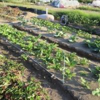 久し振りの菜園