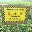 ブドウ苗の盗難対策?
