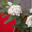 「おはようの花」 コデマリ(小手毬) 2月