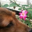 薔薇が咲きました2
