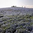 国営ひたち海浜公園2018年の春・・ネモフィラの丘4月12日