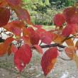 11月20日(月曜日)「ハナミズキ紅葉」(てまりさん)