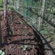 茎ブロッコリー苗植える