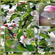 満開で見頃のリンゴの花