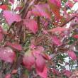 錦木(にしきぎ)の紅葉