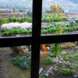 310  晩秋の菜園 (2)・初霜