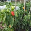 大根とビバパプリコット収穫しました