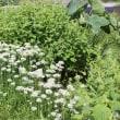 畑の白い花