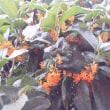 雨の中のキンモクセイ