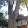 丈六八幡神社のケヤキ