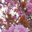 頑張る八重桜