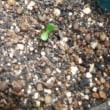 鉢植えのゴボウ