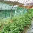 ◇簡単、野菜栽培 part2!