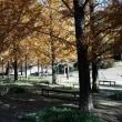 モネの庭のメタセコイア1