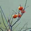 柿の実にやって来るムクドリ