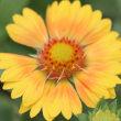 ガイラルディア サンドリームの花