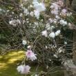 季節外れの桜・・・