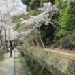 「哲学の道の桜」