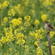 菜の花に 夏鳥 ノビタキ