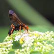 ベッコウバチ