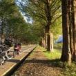 白髭神社とメタセコイヤ並木