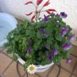 Myガーデンのビオラ2鉢の様子
