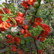 木瓜(ボケ)の花、連翹(レンギョウ)の花、杏(アンズ)の花、巴旦杏(ハタンキョウ)の花
