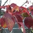 ユリの木の紅葉