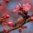 河津桜開花 2