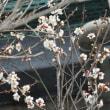 ウメ冬至開花