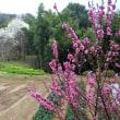川崎市制記念ふるさと公園の桜