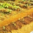エンドウ豆を定植した