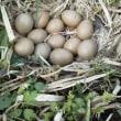 農園便り(キジの卵)