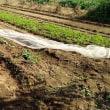 ブロッコリーの中耕と追肥