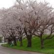 桜花見2018(5)~ 寿地区の栖吉川堤防で、